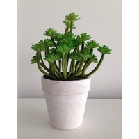 Durie Succulent plant in a pot 29980